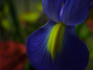 Purple yellow Iris