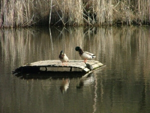Nature raft with mallards