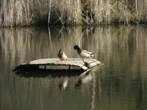 Nature raft with mallards