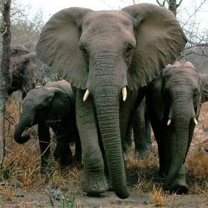 Adult elephant mentor
