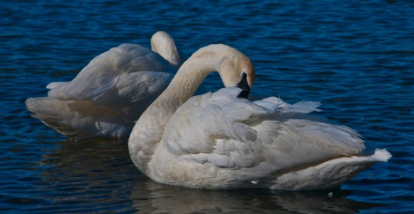 Trumpeter Swans, Hudson, WI