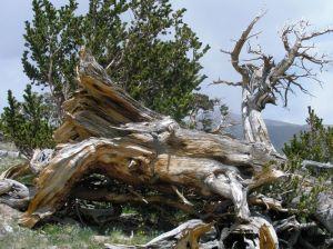 Bristlecone Pines photo