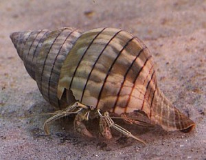 Hermit Crab crawling into abaondoned snail shell