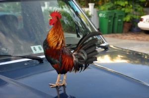 Key West Rooster on car hood