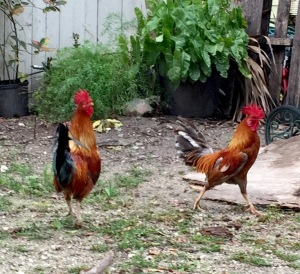 Roosters crowing