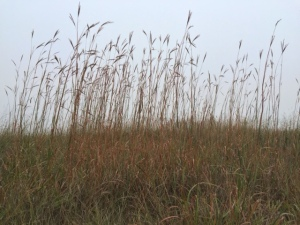 Prairie grasses in fog