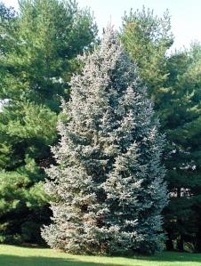 white-spruce-ap
