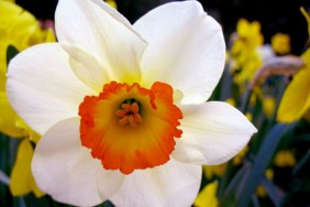 narcissus-flower
