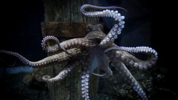 octopus-photos-rambo.ngsversion.1436387382745.adapt.1900.1