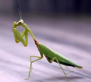 how to keep praying mantis away