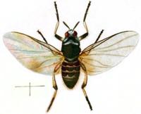 200px-Simulium_trifasciatum_adult_(British_Entomology_by_John_Curtis-_765)