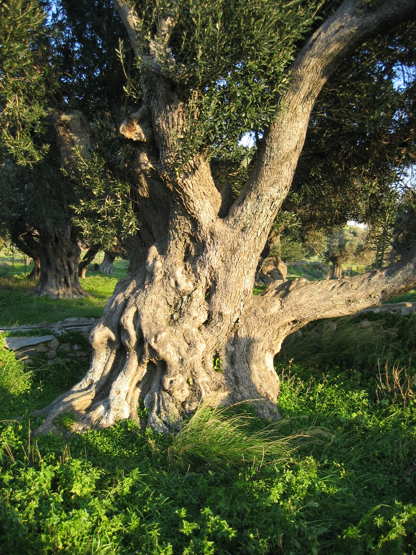 Old_olive_tree_in_Karystos,_Euboia,_Greece